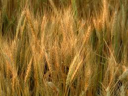سبحانك .. ماعبدناك الا حق عبادتك(صور) wheat4323.jpg&h=